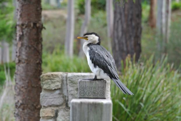 LittlePiedCormorant
